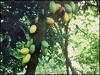 O cacau começou a ser consumido pela civilização maia