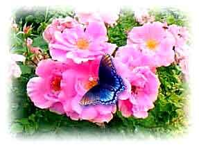 aromaterapia_rosas_borbolet