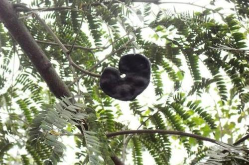 Enterolobium contortisiliquum, nome científico da orelha-de-macaco * Foto: Carol Sencebe / Wikimedia Commons