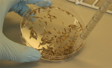 Na técnica as bactérias são inseridas nas sementes de plantas que não são capazes de fixar o nitrogênio  Imagens: Reprodução/Universidade de Nottingham