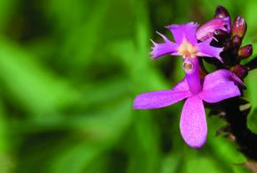 A Epidendrum denticulatum: diversificação em andamento