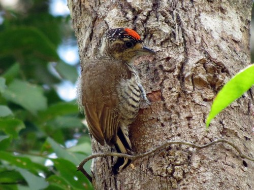 Pica-pau-anão (Picumnus cirratus). Foto: FM Flores