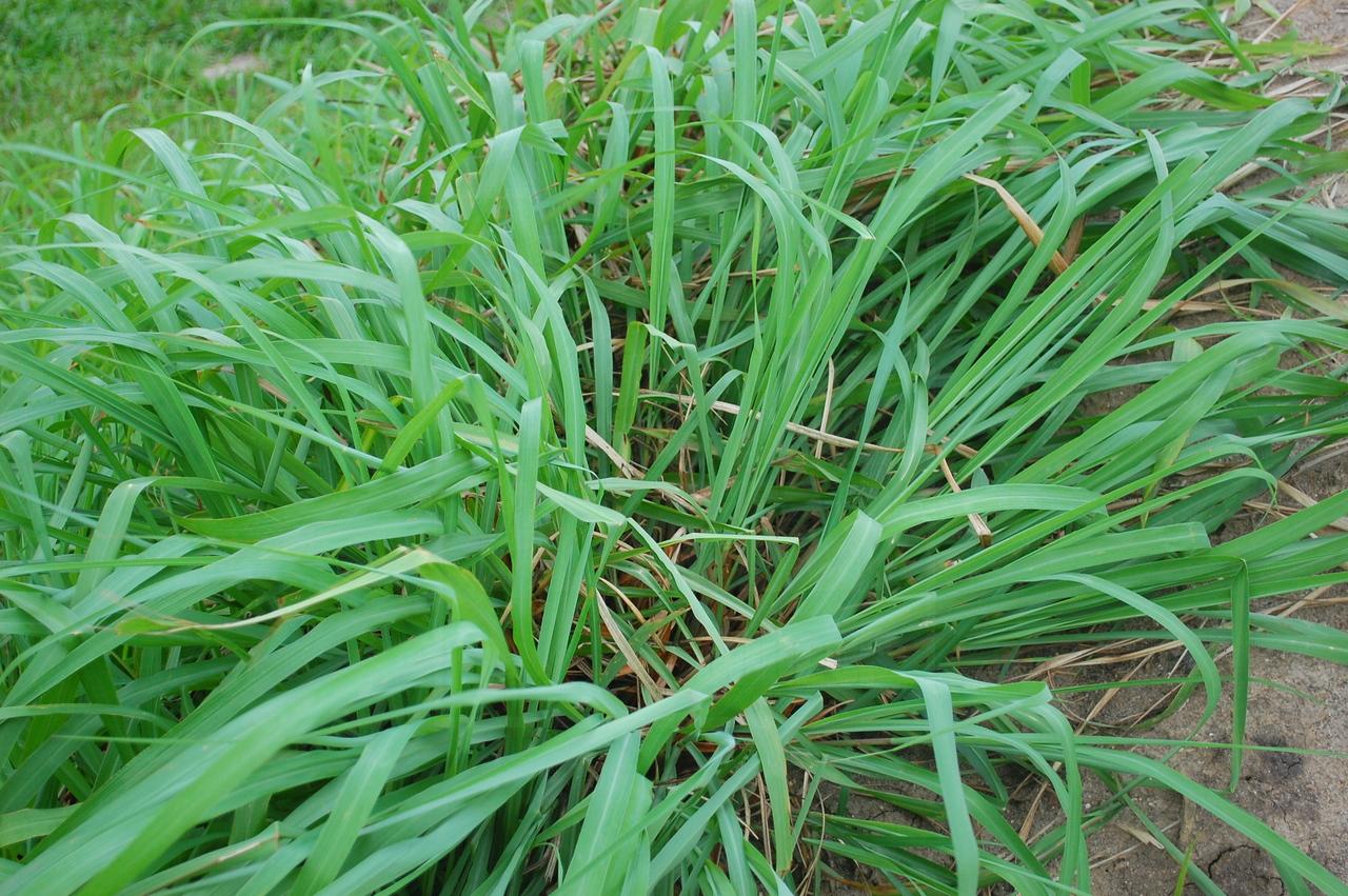 Utiliza o da citronela contra os mosquitos plantas carn voras brasil - Plantas contra los mosquitos ...
