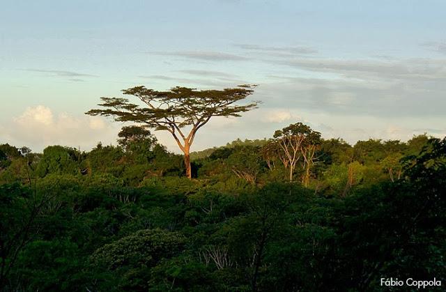 Parkia pendula registrada no sul da Bahia por Fábio Coppola (Flickr). Conhecida na região como Juerana, é uma árvore emergente que possui uma distribuição composta de áreas na costa do Nordeste e áreas na Amazônia.
