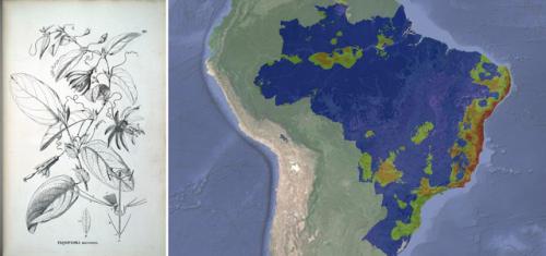 Projeção de consenso entre os modelos de nicho ecológico para Passiflora mucronata (Bernacci & Giovanni 2013), indicando a área potencial de distribuição da espécie no Brasil. Prancha disponível no Herbario Virtual Flora Brasiliensis.
