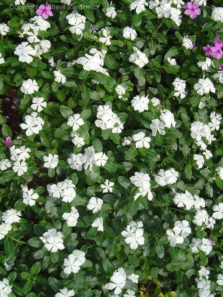 Beijo Da Mulata Blog Tudo Sobre Plantas