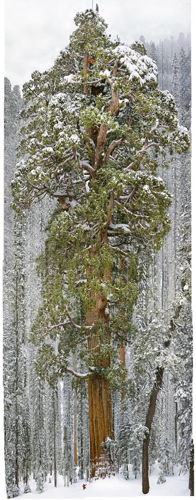 Essa-árvore-de-3.200-anos-é-tão-grande-que-nunca-havia-sido-registrada-em-uma-única-foto1