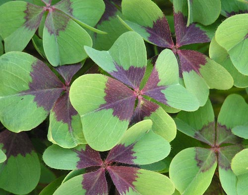 Este é o falso trevo de quatro folhas (Oxalis sp.). Naturalmente essa planta sempre tem quatro folíolos!