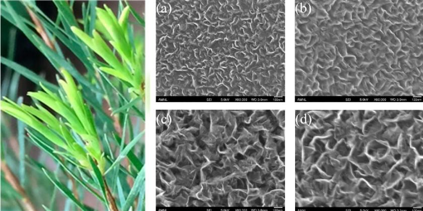 (Esquerda) folha da árvore do chá. (Direito) imagens de microscópio de grafeno crescido de óleo da árvore do chá para o (a) 1 segundo, (b) 1 minuto, (c) 2 minutos, e (d) 4 minutos. Crédito: Jacob, et al. © 2015 American Chemical Society