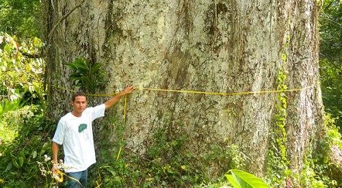 Jequitibá com 48 metros de altura total e 4,35 metros de diâmetro