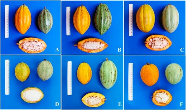 Pesquisadores avaliam estrutura genética e diversidade de variedades na Bahia e identificam árvores resistentes à vassoura-de-bruxa (divulgação)